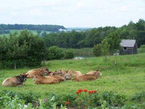 Julie Wolcott's cows are shown resting in a lush green field with flowers in the foreground.