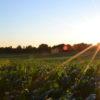 corn-field-sunlight-unsplash-photo-by-jake-gard