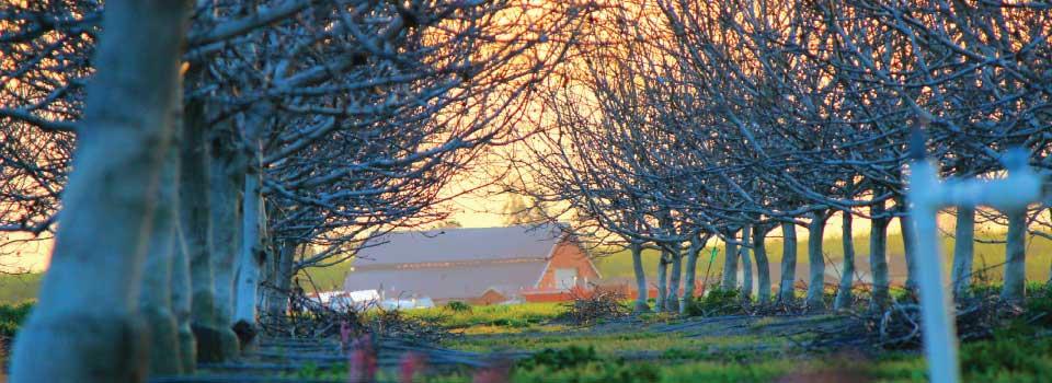 orchard-bare-trees-barn