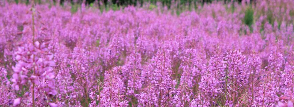 purple-flowers-field-photo-by-Patrick-Van-Stee