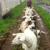 Farmer follows behind a herd of goats.