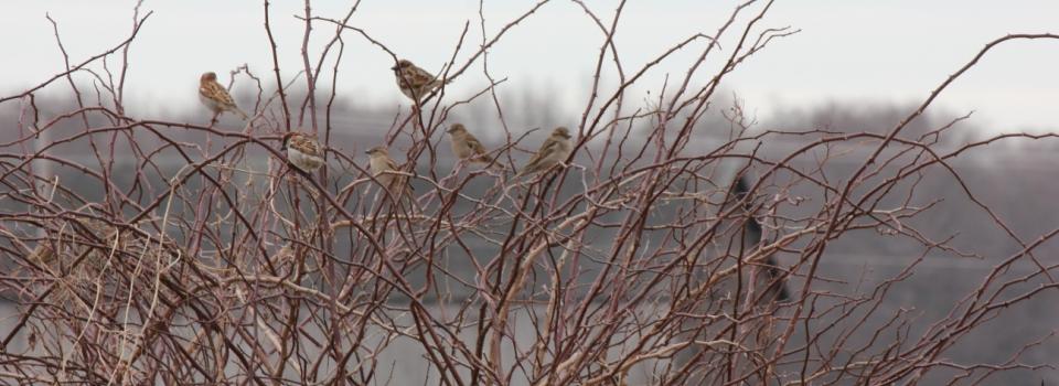 winter branches birds on farm -by Emelia Aiken-Hafner (135)